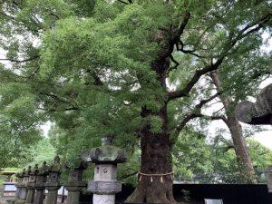 上野東照宮境内の大楠